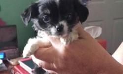 Pure Chihuahua puppies. We have 1 female and 1 male. 8 weeks old. All pups have their first set of shots. Color is black and some white. Both parents are pure Chihuahua and both on premise. Father weighs 5 lbs. and mother weighs 7 lbs. Small dogs. Both in
