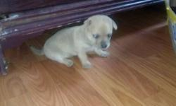 I have 2 male puppies, one black and white , one tan with some white. They were born 6/13/2014. They do not have papers. Mother and father are pure bred but have no papers as they are not show dogs just pets. They are adorable and with very good