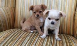 Hi I have two chihuahua puppies for sale, one male one female the male is a cream white in color and the female is reddish brown born may 17th. 350$ each This ad was posted with the eBay Classifieds mobile app.