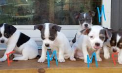 3 males $450 (all white with blue) and female $550(blk,tan,white) born Friday May 13th, ACA registered dewormed will be vaccinated in due time, happy, healthy, socialized, and ready to go July 15th.. 631/522-6364