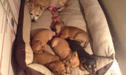 Very playfull and friendly, loves playing with mommy and daddy, they where born June.9,2016 and will be ready after August.3,2016. There is 5 puppies two girls and three boys, the females are the all black one and the other one has black from the head to