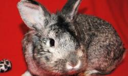 Chinchilla - Cowslip - Medium - Young - Male - Rabbit Sweet and friendly bunny who is eager to find his forever person! He is neutered and checked out by a veterinarian. Come in and spend some time with him today! CHARACTERISTICS: Breed: Chinchilla Size: