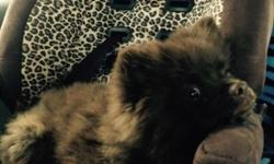 4 month old CKC Pomeranian needs a new home. He's all chocolate brown with a little white on his chest and toes. Percy is a sweet heart, he plays well with other dogs and children. UTD on shots, deworming, flea and tick treatments. Please contact me with