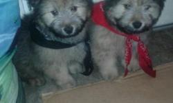 Hi.. we have 2 chow puppies left to find homes for. They are 9 weeks of age. 2 boys left. The puppy have received their vaccines and have seen a vet already. We have shot record that we will give you along with some food. Send us an email if you're