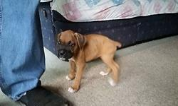 2 fawn boxer pups left one male and one female $600 each . They are 8 weeks old and ready to go to their forever home. UTD on shots and have been dewormed.