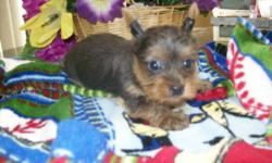 "ACA Lizzy Lola Burk our 4&1/2 lb. silver/gray Yorkie photo #3 mated with our teacup CKC Biewer Yorkie from Germany ""Tuxedo"" photo #4, and she gave birth to one silver/gray & tan rare color Yorkie male photo #1 & 2 on 2/5/15 weighing 6.2 oz. His nails have"