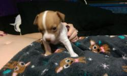 Three new male Chihuahua puppies for sale. Price is $375 for your choice of either of the three males available. You may come to our home see the puppies, their parents and all my other dogs and animals. All of the puppies are CKC registered and come with