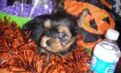 "CKC Yorkie ""Zoey"" mated with my little AKC teacup Yorkie ""Izzy"" and they gave birth to 4 males on 9/8/2014. At 8 weeks old, Trevor 19 oz. charting to be 2&1/2-3 lb. adult $1250 Ready to go when he reaches 1&1/2 lbs. He will come with tails docked,"