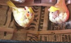 I have 2 cockatiels for sale. A pearl split pied male. He is 5 years old. Asking $60 for him. A pastelface split pied male(RARE mutation). 3 years old. Asking $120 for him.