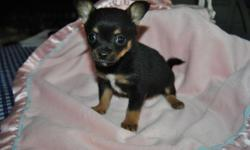 Here is a beautiful Litter of six Pomchi Puppies ..adorable four long hair and two short hair. Five boys and one girl. They will be ready for their new home on the 22nd of this month. They have their first shot and dewormed . This puppy is Coco and he is