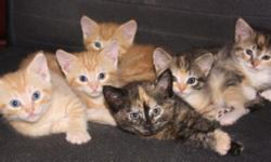 Cute and cuddly kittens wanting a permanent, loving home. Extremely well socialized, loving and litter box trained. Three calico girls and three orange tabby boys are all adorable and sweet. Wormed and first set of shots given. $10.00 each, just to cover