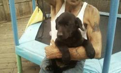 i have 2 AKC Labrador retriever puppies for sale. LIMITED REGISTRATION $450.00 OR $500.00 for full reg. I HAVE 1 MALE YELLOW AND 1 FEMALE BLACK. :) they will be 11 weeks old on 7/8/13 they need loving homes :) you can call me at 607-292-6150 (THERE WILL