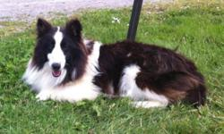 We have one very cute 1 year old AKC Shetland Sheepdog male available. He is very quiet and is a bit personality challenged as some shelties are but once he feels comfortable he is a wonderful little guy. He gets along very well with other animals. Adult