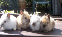 Cute Baby Lionhead Bunnies for free to good homes!! gray, brown, and white, ready now for adoption call 845-750-6542 ask for Joe or Matthew.