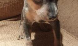 Hi i have a blue merle min pin male available, his tail and dew claws are done and also his worming, shots is given at eight weeks of age.he is a beautiful puppy and alot different, he will be very small. If you are interested please call me at