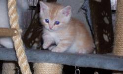 TICA Registered Napoleon Kittens. The Napoleon breed originated as a cross between the short legged munchkin and a cat from the persian breed group. I have still have two dwarf kittens available, a tortie point female she's a snuggler, and a tortoiseshell