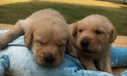 Adorable golden retriever puppies for sale! There are 2 males available! They will be ready by the third week of August. First shots and deworming will be provided for them. Both parents are on site, in well health and are up to date with vaccinations.