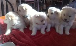 i have 5 adorable pure Pomeranian puppies left for adoption, all male. will be ready for homes 3/7. home raised as part of the family, both parents on premises. they will have vet exam and first puppy vaccines before going home. e-mail me for more info,