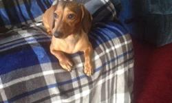 Cute tweenie dachshund .neutered, and up to date on shots. He loves to snuggle . Loves to walk .Adults only has never been with kids....
