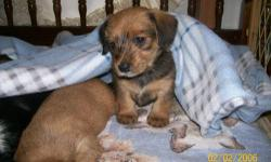 I HAVE FOUR DACHSHUND- YORKIE MIX (DORKIE) PUPS, BOTH MALE AND FEMALE. THEY WILL NOT BE READY UNTIL THE BEGINNING OF JANUARY. THEY ARE CURRENTLY ONLY FIVE WEEKS OLD, AND I DO TAKE DEPOSITS TO HOLD. THEY WILL HAVE THEIR FIRST VACCINE AND WORMING, ALONG