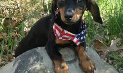 1 yr old male dachshund akc looking to co own- must be within 60 miles of middletown ny- he needs to be in a home without cats If you have always wanted a dachshund but could not afford one nows your chance- excellent pedigree- STRONG WORKING LINES-