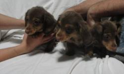 they are 10 weeks old comes with vet check shots and wormed and papers 2 males and 3 females long haired chocolate very friendly call 607-243-7907 for inquires for i don't check my email due to busy schedule first picture is of the females and then the