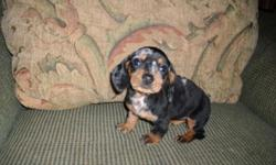 2 female dachshund puppies born 10/9/14 Please email me with any questions