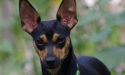 Autumn is a 1 year young Dachsund x Miniature Pinscher Mix in IMPS Rescue. She is a very affectionate, curious, and playful young lady. She loves to run and play with other dogs, and trys to play nicely with Kitties. She loves her rawhide chews and