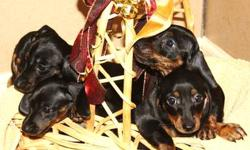 Darling miniature Dachshund puppies for sale! Puppies are black and tan, smooth coated, able to be registered with the CKC, had first set of shots, been wormed on a regular basis, and are well socialized (with children, other pets, and even horses).