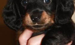 Darling miniature Dachshund puppy for sale to loving, forever home! One black and tan, long-haired male. Pup is 5 weeks old now and will remain on farm till 8 weeks old, during which time he will be extensively socialized, wormed, given first set of shots