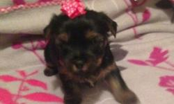 Yorkie female puppy akc registered champion bloodlines charting 5.5 pounds as adult. Will come with health certificate from vet shots wormed puppy gift bag food toys blanket ect. For more info or to see her please text or call 315-489-7129 thanks