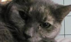 Dilute Tortoiseshell - Druella - Large - Adult - Female - Cat Druella came in with her 3 sisters - found as a stray group of older kittens. They live in the hallway at the shelter (in a cage) and have become very social now. They love to play, or grab