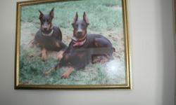Doberman puppies, black and tan, red, 5 females, 4 males, tails docked, dewclaws removed, family raised, parents are both here, deposit will hold. Call 585 285 5095. NO EMAILS.
