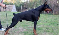 * * PUPPY ANNOUNCEMENT * * 100% Euro litter. Expecting black pups. Health tested. Working/IPO and Champion bloodlines. Litter pedigree: http://www.pedigreedatabase.com/doberman_pinscher/dog.html?id=2519062-drachensterns-pistol Dam: (UKC CH Pointed)