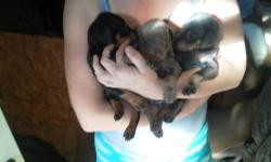 I have a litter of 9 puppies fawn and rust black and rust and blue and rust they have had tails and due claws done ears are your choice call ASAP they will go fast at 450 #914 3887497 or845 868 7564 thanks scott mother and father on premises