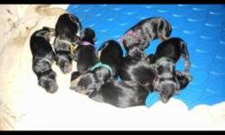 Akc reg blk/ tan pups born July 20 th 3 girls 6 boys . Ears not cropped 1300.00 cropped 1800. Pups will have tails and dewclaws docked . First shots . Dewormed and option of lifetime micro chip . . . Please contact for more details TAKING DEPOSITS NOW .