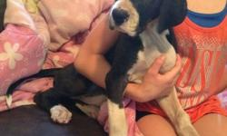 Dolly is a super sweet half euro mantle puppy. She is ready for his new loving family. She has a full collar and loves everyone. All puppies are family raised in our home and very socialized. Parents are oliving family members. Excellent lineage. They are