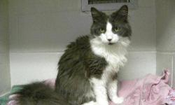 Domestic Long Hair - Batman - Medium - Young - Male - Cat Batman has been with us for several months and it was very hard to go near him. All of a sudden about 4 weeks ago, Batman decided that being scratched and paid attention to was actually a good