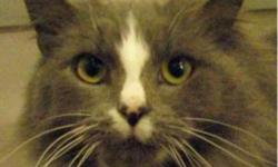 Domestic Long Hair - Gray and white - Daisy Duke - Medium Beautiful Daisy Duke is a wonderful cat who is sure to bring so much joy to her new family! We've all fallen in love with this sweet girl and know that you will too. At first she's a little shy,