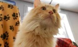Domestic Long Hair - Leo - Large - Adult - Male - Cat CHARACTERISTICS: Breed: Domestic Long Hair Size: Large Petfinder ID: 25244960 CONTACT: Elmira Animal Shelter | Elmira, NY | 607-737-5767 For additional information, reply to this ad or see: