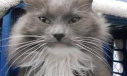 Domestic Long Hair - Shadow - Medium - Adult - Female - Cat CHARACTERISTICS: Breed: Domestic Long Hair Size: Medium Petfinder ID: 25194840 ADDITIONAL INFO: Pet has been spayed/neutered CONTACT: Chemung County Humane Society and SPCA | Elmira, NY |
