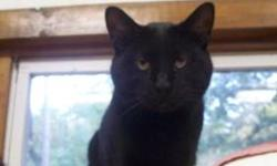 Domestic Medium Hair - Black - Ebony - Medium - Adult - Female Ebony came to the shelter with 7 other cats. The owners husband had brought them all home and then passed away. The wife was not a fan of them and kept them in a bedroom. They had shelter but
