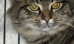 Domestic Medium Hair - Savanna - Medium - Young - Female - Cat Savannah was born approx. July 2011. She was spayed, vaccinated, wormed and tested negative for FIV/FeLV on 9/23/11. Savannah is very shy but, curious. She gets along with other cats but, we