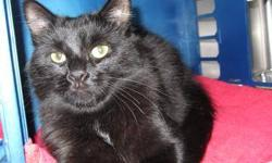 Domestic Medium Hair - Twila - Medium - Adult - Female - Cat CHARACTERISTICS: Breed: Domestic Medium Hair Size: Medium Petfinder ID: 24908623 ADDITIONAL INFO: Pet has been spayed/neutered CONTACT: Chemung County Humane Society and SPCA | Elmira, NY |