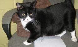 Domestic Short Hair - Black and white - Cj - Medium - Young CJ resides in the free roaming room with brother TJ & sister BB. When they came to the shelter, there were people that wanted to get rid of them. In short, you don't end up in the free roaming