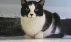 Domestic Short Hair - Black and white - Monster - Large - Adult Monster came to our shelter with Kitten. Funny as Monster is not as large as Kitten. Monster is about 11-12 lbs. Same story as Kitten. Monster loves everyone and also loves wet food. It's
