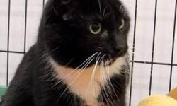 Domestic Short Hair - Black and white - Sir Ernesto Nikea Sir Ernesto The Bold was wandering around in the City of Ithaca for several months before a concerned fan brought him up to the SPCA. Ernesto was a little put out at being confined, and his first