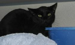 Domestic Short Hair - Black - Gizmo - Medium - Adult - Male Gizmo is really the 3rd of what are like triplets (Zoey, Mikey and Gizmo.) they were rescued/surrendered with 5 other cats in Spring of 2012. These cats are very socialized now. It's actually
