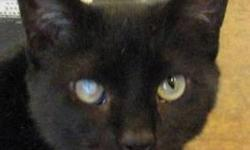 Domestic Short Hair - Black - Newman - Medium - Adult - Male Handsome Newman has had a difficult year. He was brought to the shelter as a stray, and had numerous tests to determine what was causing his intestinal difficulties, now resolved. Newman was a
