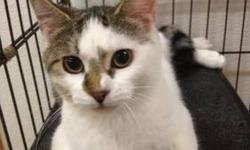 Domestic Short Hair - Buff and white - Gloria - Medium - Young Aurora came in with her siblings and these were 4 scared kittens. They hissed, growled and spit. We put them in the hallway in a very large cage, and low and behold these kittens learned to